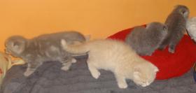 Foto 3 Fünf Süße scottish fold Kitten, suchen ab sofort ein liebevolles Zuhause