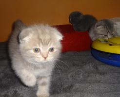 Foto 10 Fünf Süße scottish fold Kitten, suchen ab sofort ein liebevolles Zuhause