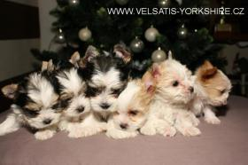 GOLDDUST und BIEWER Yorkshire terrier