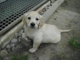 Foto 2 GOLDEN RETRIVER WELPEN