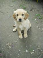 Foto 3 GOLDEN RETRIVER WELPEN