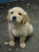 Foto 4 GOLDEN RETRIVER WELPEN