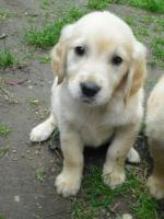 Foto 5 GOLDEN RETRIVER WELPEN
