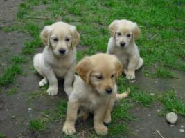 Foto 6 GOLDEN RETRIVER WELPEN