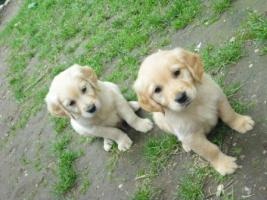 Foto 7 GOLDEN RETRIVER WELPEN