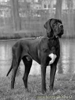 Foto 3 GREAT DANE / Deutsche Dogge RÜDE ZU DECKEN