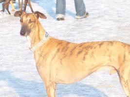 Galgo Espanol (spanischer Windhund)