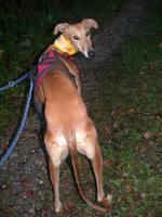 Foto 4 Galgorüde BEO (Tierschutz) sucht seine Familie!