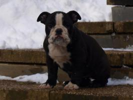 Foto 2 Ganz Besondere Englische Bulldoggen