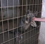 Foto 2 Ganz lieber Labrador Mix, Rüde, sucht dringend liebes Zuhause/Pflegestelle !