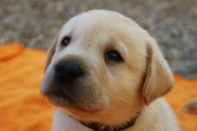 Ganz tolle Labrador Welpen aus liebevoller Familienzucht!