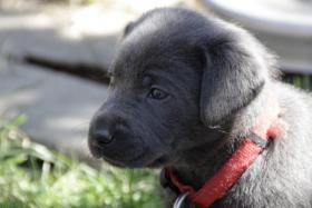 Ganz tolle reinrassige SILBER und CHARCOAL Labrador Welpen!