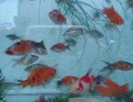 Foto 4 Gartenteich Fische, Goldfisch und Schibunkis