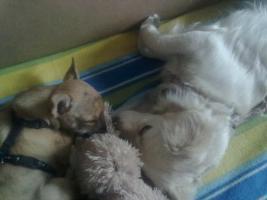 Gassiservice für meine 2 Hunde