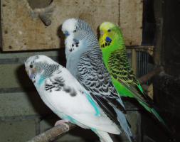 Foto 3 Gebe Nestjunge Wellensittiche ab