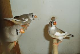 Foto 5 Gebe Zebrafinken ab