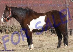 Geländesicherer Overo Paint Horse Wallach