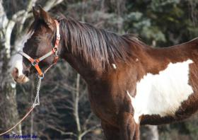 Foto 4 Geländesicherer Overo Paint Horse Wallach