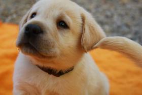 Gelbe und schwarze Labradorwelpen aus liebevoller Aufzucht!