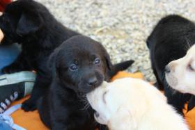 Foto 2 Gelbe und schwarze Labradorwelpen aus liebevoller Aufzucht!
