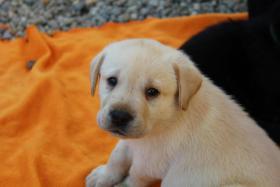 Foto 3 Gelbe und schwarze Labradorwelpen aus liebevoller Aufzucht!