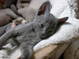 German Rex Kitten Nachwuchs suchen neues Zuhause