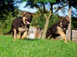 German Shepherd - Puppies