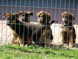 Foto 3 German Shepherd - Puppies