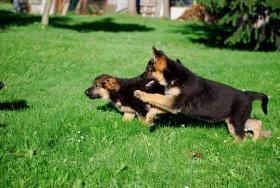 Foto 4 German Shepherd - Puppies
