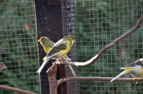 Foto 2 Gesangskanarien Rasse Timbrado Espanol Classico Jungvögel aus 2011 beringt