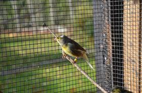 Foto 3 Gesangskanarien Rasse Timbrado Espanol Classico Jungvögel aus 2011 beringt