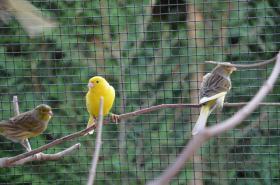 Foto 4 Gesangskanarien Rasse Timbrado Espanol Classico Jungvögel aus 2011 beringt