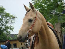 Gesunde, bezahlbare Quarter Horses, Paint Horses und Appaloosas gesucht?
