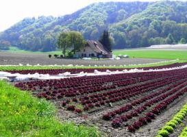 Foto 2 Gewerbliche Abnehmer für Gemüsehandel