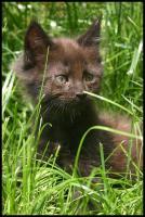 Gigantische Maine Coon Kitten suchen Kuscheloase
