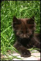 Foto 2 Gigantische Maine Coon Kitten suchen Kuscheloase