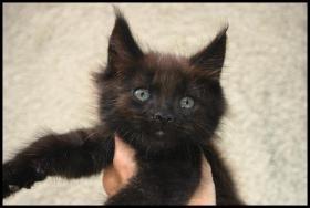 Foto 4 Gigantische Maine Coon Kitten suchen Kuscheloase