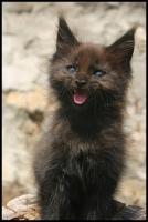 Foto 5 Gigantische Maine Coon Kitten suchen Kuscheloase
