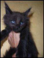 Foto 10 Gigantische Maine Coon Kitten suchen Kuscheloase