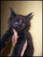 Foto 11 Gigantische Maine Coon Kitten suchen Kuscheloase