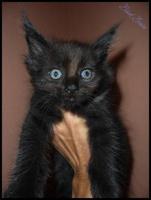 Foto 14 Gigantische Maine Coon Kitten suchen Kuscheloase