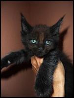 Foto 15 Gigantische Maine Coon Kitten suchen Kuscheloase
