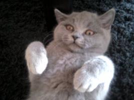 Glücks Sylvester Bkh Kitten
