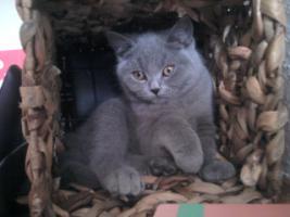Foto 2 Glücks Sylvester Bkh Kitten