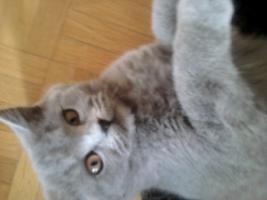 Foto 3 Glücks Sylvester Bkh Kitten