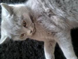 Foto 4 Glücks Sylvester Bkh Kitten