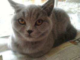 Foto 5 Glücks Sylvester Bkh Kitten