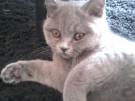 Foto 7 Glücks Sylvester Bkh Kitten