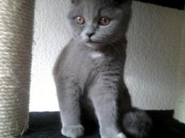 Foto 8 Glücks Sylvester Bkh Kitten