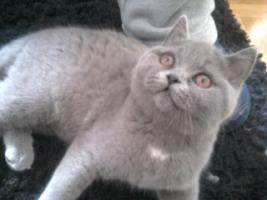 Foto 10 Glücks Sylvester Bkh Kitten
